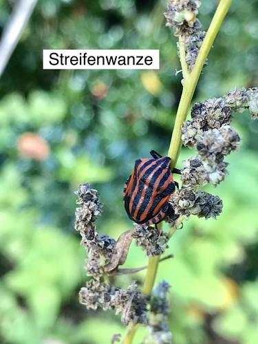 Streifenwanze (Graphosoma lineatum) (1)