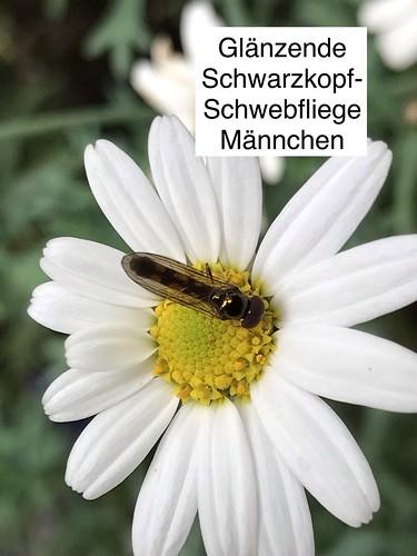 Glänzende Schwarzkopf-Schwebfliege (Melanostoma mellinum) (1)