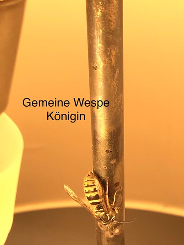 Gemeine Wespe (Vespula vulgaris) (1)