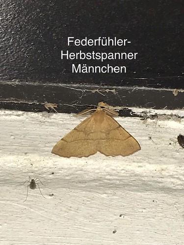 Federfühler-Herbstspanner (Colotois pennaria) (1)