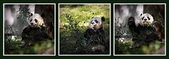A Happy Panda
