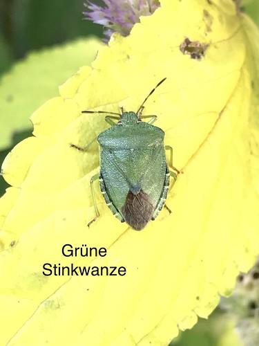 Grüne Stinkwanze (Palomena prasina) (1)
