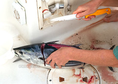 Quick fillet of tuna for sashimi on a sailing yacht at sea