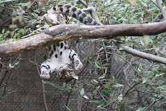 Clouded leopard cub at Smithsonian's National Zoo 2019-10-07