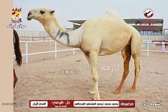 صور منافسات مهرجان قطر الثالث للمجاهيم (أشواط الوضح) صباح  10-11-2019