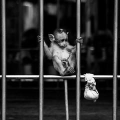 A baby monkey eyeing a prize