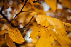Season of beautiful autumn yellow leaves