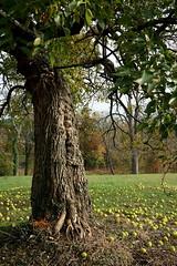 Maclura pomifera (Osage-orange tree), US National Arboretum