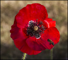 The Bee  Remembers Poppy Day