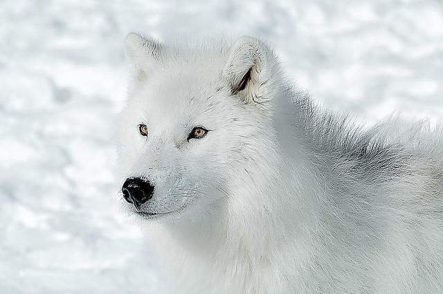 Loup arctique et sa toison blanche