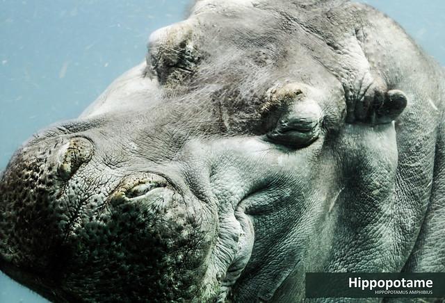 Hippopo