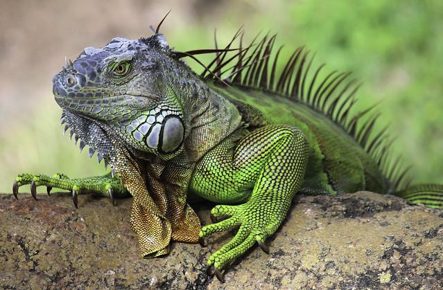 Reptile Floridien