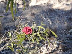 Artificial Rose in the Sun