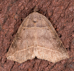 Thin-lined Owlet Moth