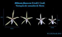 Miltonia flavescens  2019
