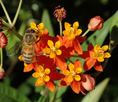 Apis mellifera (western honey bee) on Asclepias curassavica (bloodflower) 2
