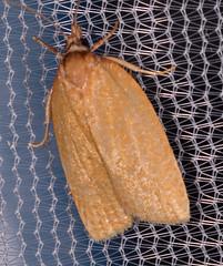 Distinct Sparganothis Moth