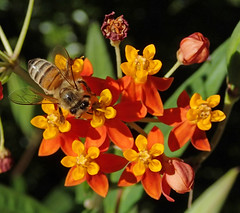 Apis mellifera (western honey bee) on Asclepias curassavica (bloodflower) 5