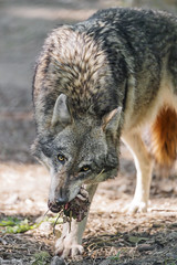 A wolf eating some meat