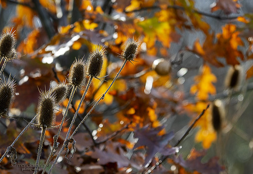 flower or weed ... thistles in autumn