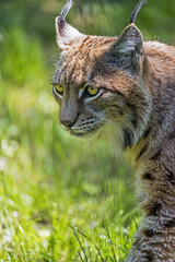 Profile of a lynx