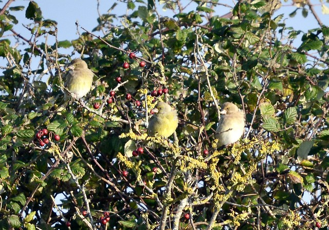 Young Greenfinches