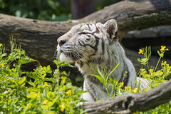 White tigress among flowers