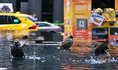 Bird spa - 6th Avenue, New York City