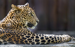 Leopardess lying on the log