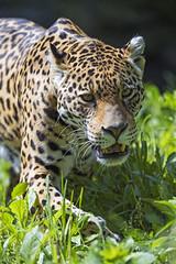 Female jaguar walking in the enclosure
