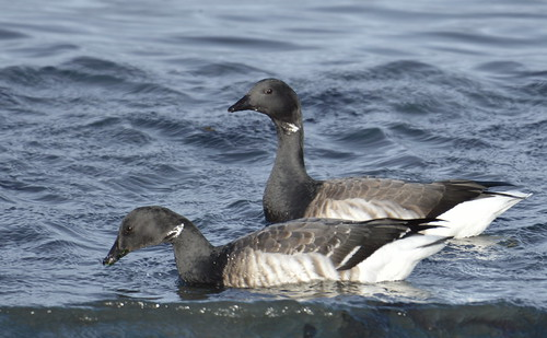 Brent geese (Brana bernicla)