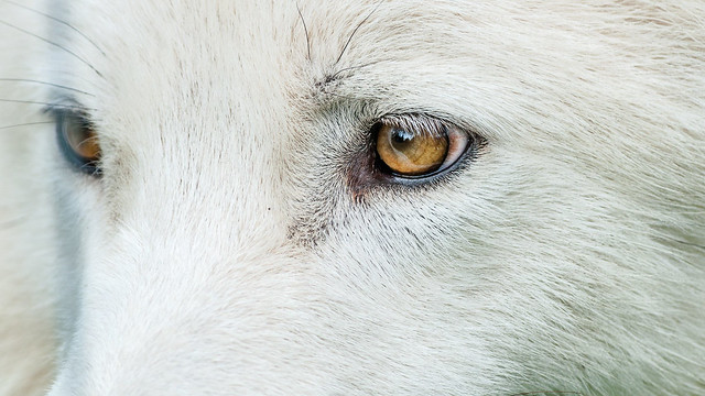 Œil de loup