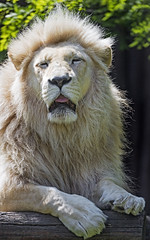 The white lion of the Bratislava zoo