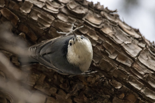A Nuthatch defying Gravity