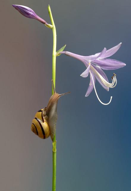 L'escargot sur fleur de Hosta