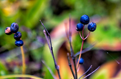 Berries at Isle Royale National Park