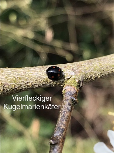 Vierfleckiger Kugel-Marienkäfer (Exochomus quadripustulatus) (1)