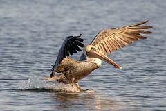 Brown Pelican Water Landing