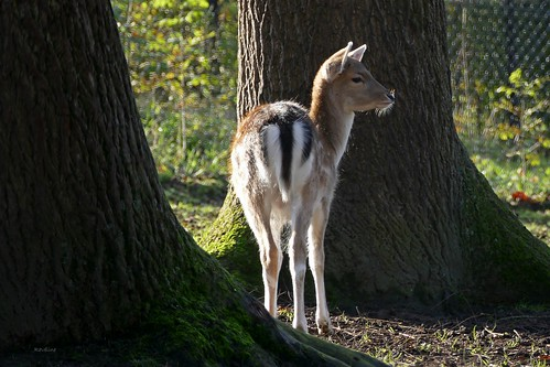 Damhert - Daim - Fallow deer - Damhirsch - Dama dama (Cervidae)