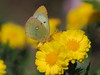 Photo:Eastern pale clouded yellow butterfly (Colias erate poliographys, モンキチョウ) By Greg Peterson in Japan