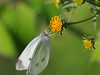 Photo:Small white butterfly (Pieris rapae, モンシロチョウ) By Greg Peterson in Japan