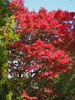Photo:Autumn maple leaves By Greg Peterson in Japan