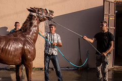 Men bathing an anxious racing horse