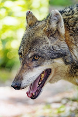 Profile of a wolf with open mouth