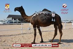 صور منافسات مهرجان قطر الثالث للمجاهيم والوضح (أشواط المجاهيم) صباح  12-11-2019