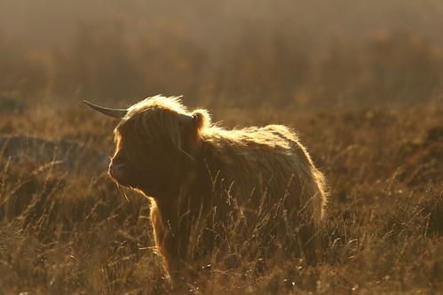 Back Lit Cow
