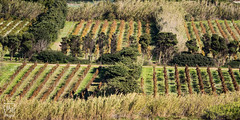 les vignes - Photo of Six-Fours-les-Plages