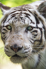 White tigress looking a bit dumb