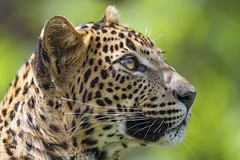 Profile of a pretty leopardess