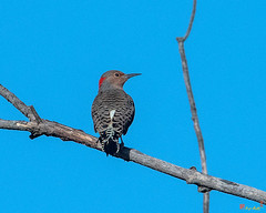 Northern Flicker or Common Flicker (Colaptes auratus) (DSB0353)